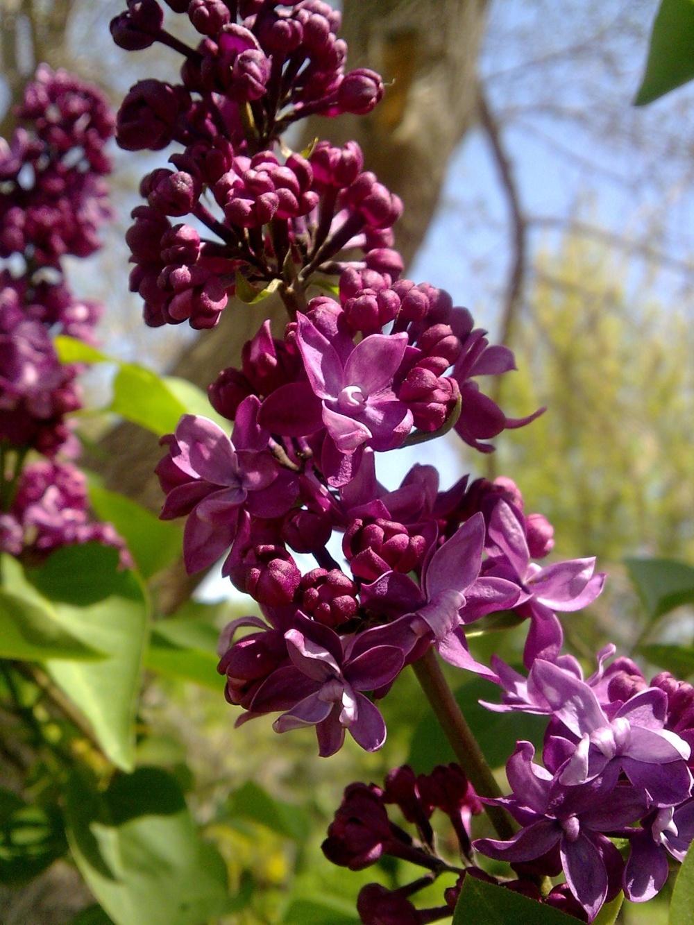 Flower, tree, violet