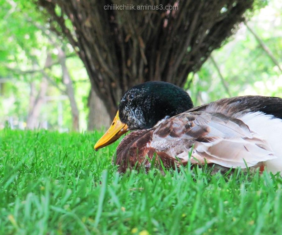 duck park green