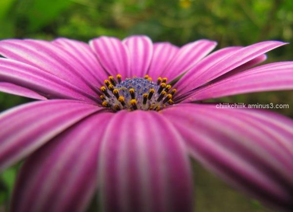 Daisy bush