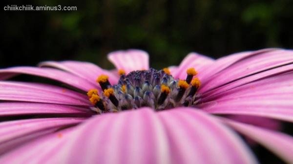 Daisy bush 2
