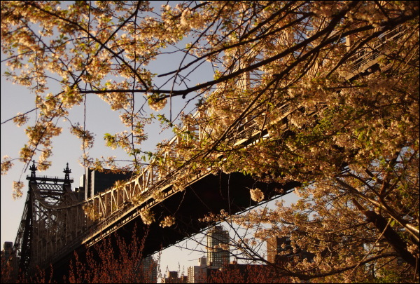 Blossoming trees take over Queensboro Bridge