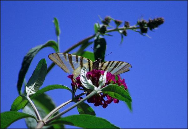 Papillon butine buddléia