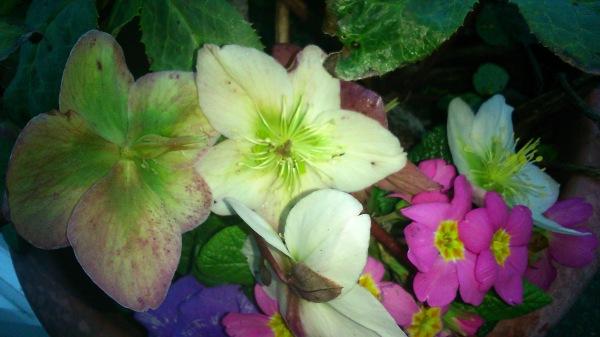 First Spring Hellebore--