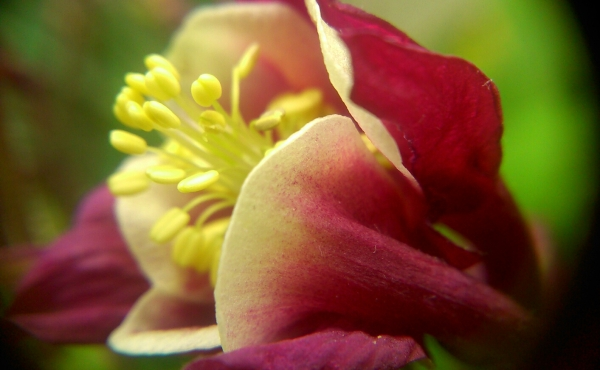 A columbine or aquilegia