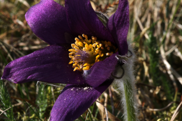 PASQUEFLOWER II