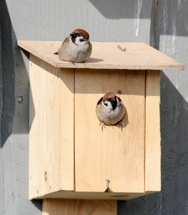 Mr and Mrs Tree Sparrow new home