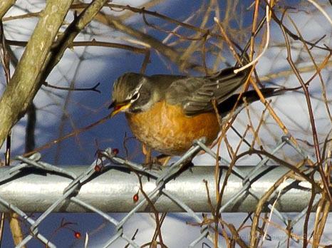 Robin having breakfast