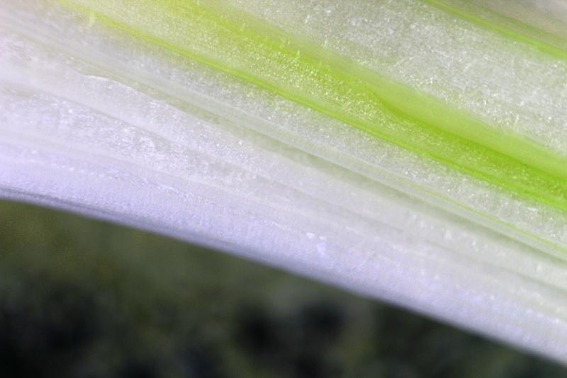 Spring Onion-1