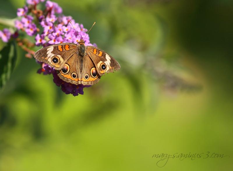 Butterflies~3