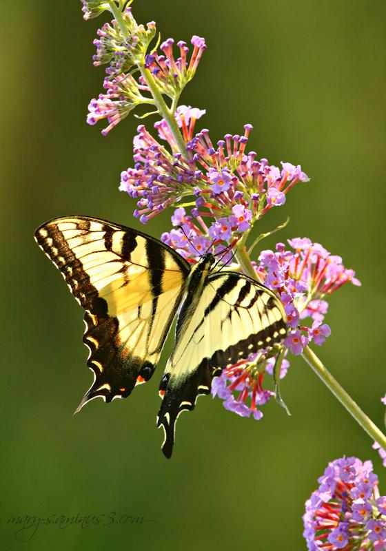 Butterflies~5