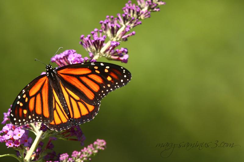 Butterflies~6