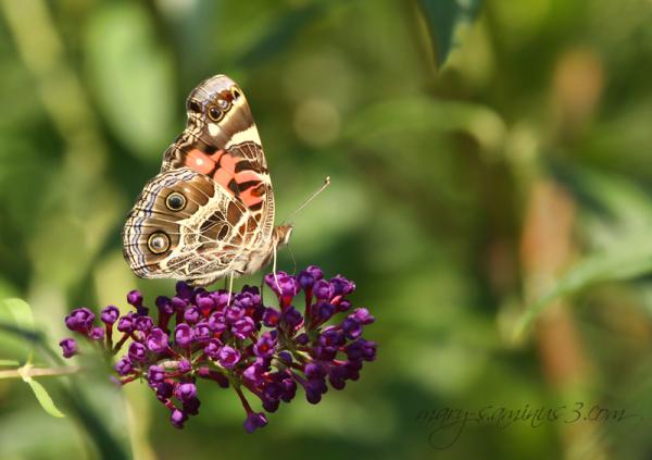 Butterflies ~1