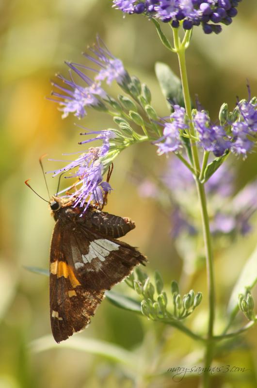 Buttterflies~10