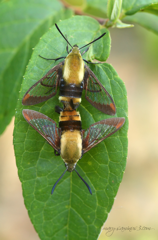 Mating hummingbird Moths