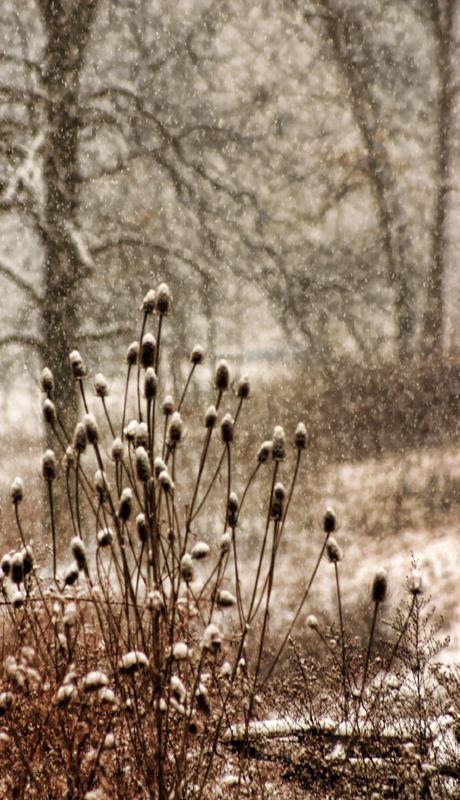 Teasel in Winter