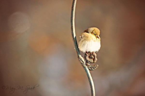 Gold Finch~2