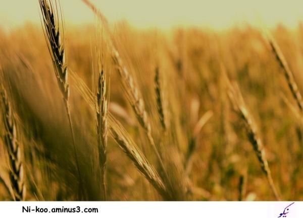 ...گندمزار