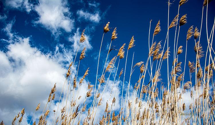 El vent entre els joncs