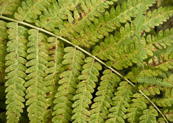 Vermont fern