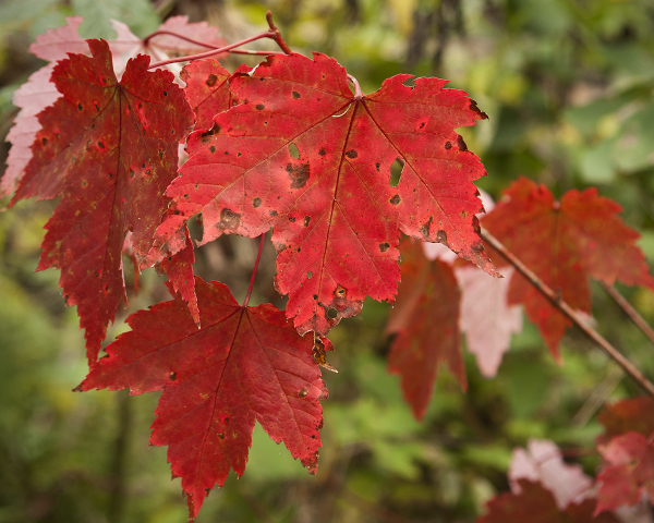 REd leaves in the fall