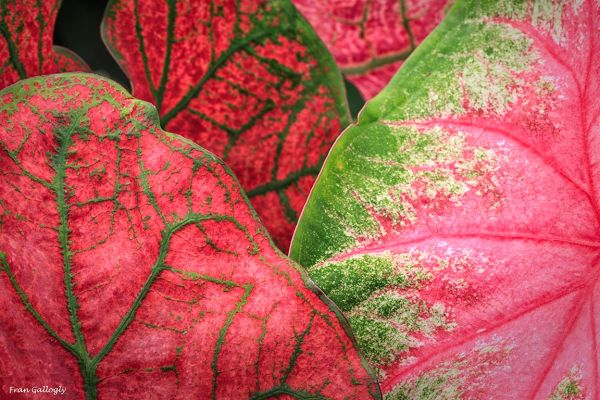 Caladium Abstraction