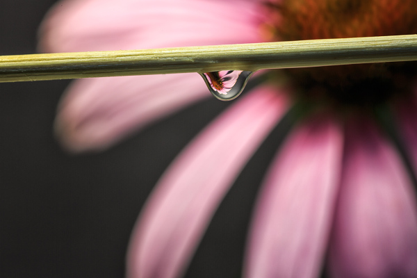 Cone Flower as seen in a Dew Drop