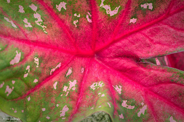Abstract Caladium Veining