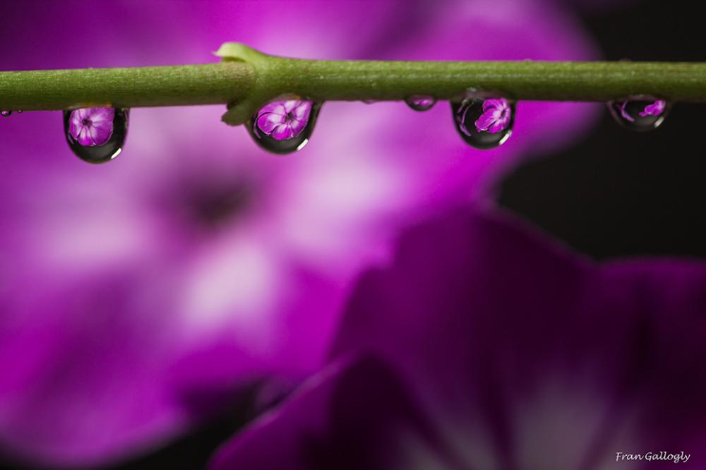 Phlox as Seen in Multiple Water Droplets