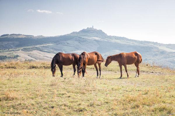 Horses near Mt. Amiata, Tuscany