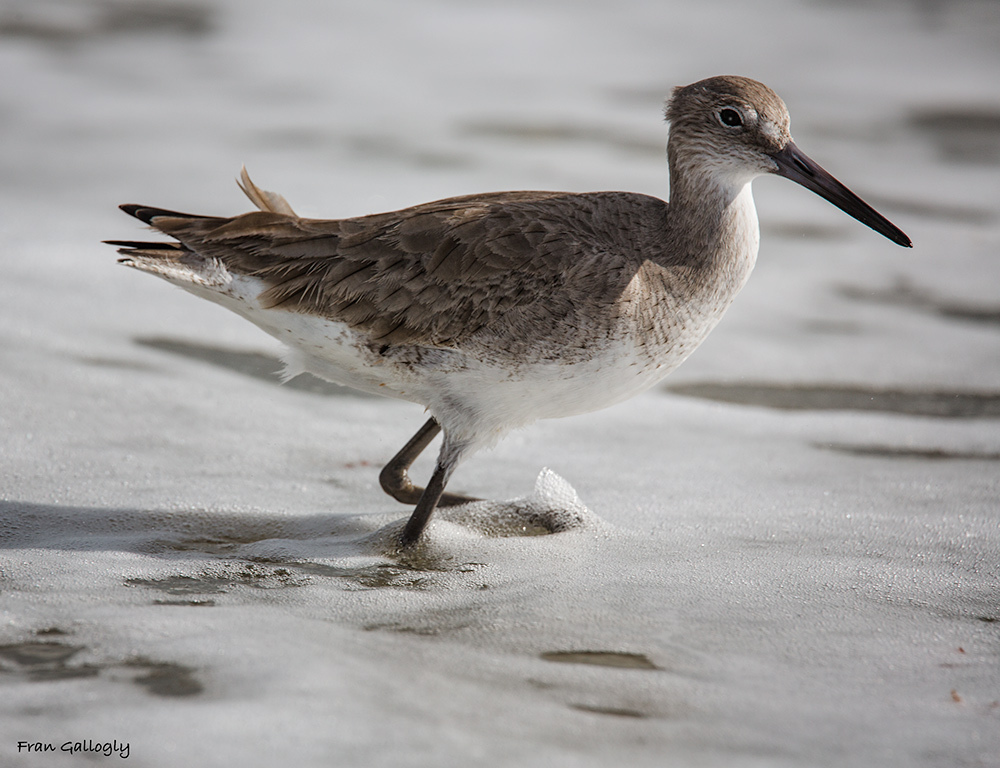 Willet on the Shore