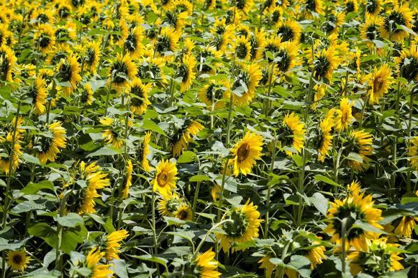 Sunflower Patterns