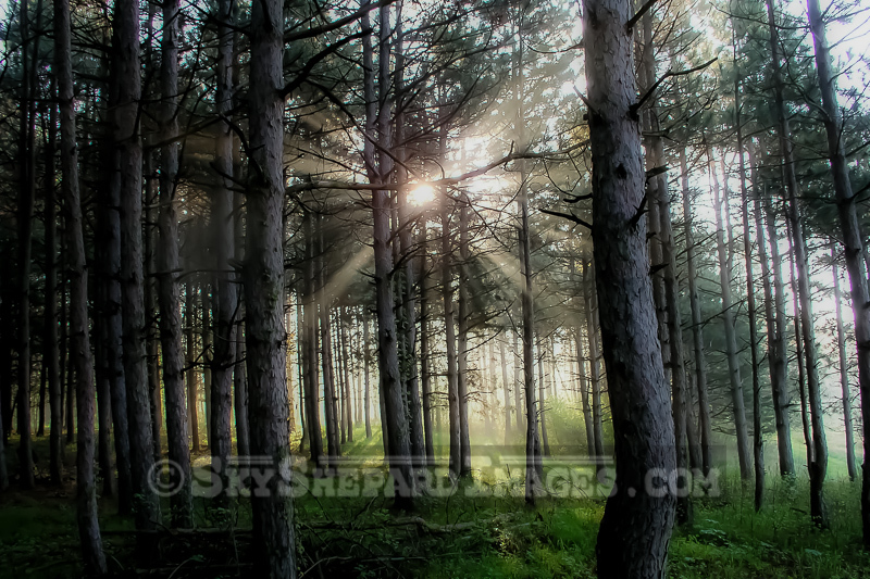 Morning Woodland Glowing Pines