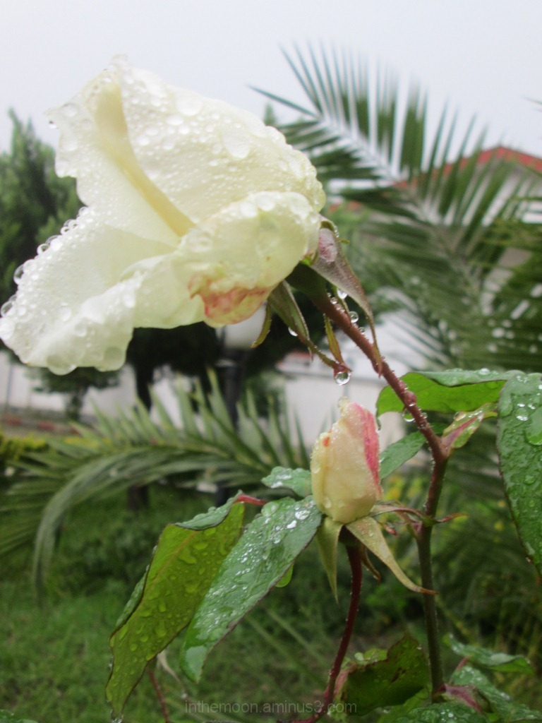pink & white rose in the rain