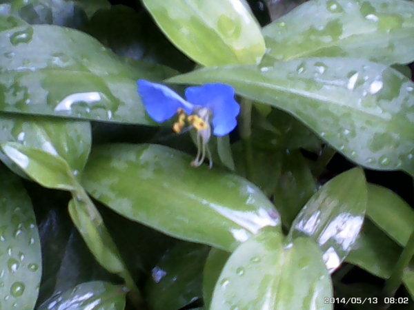 a blue flower
