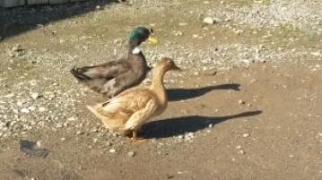 A couple of ducky