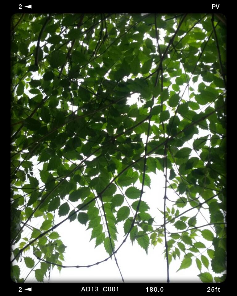 گل شیپوری های بالای آفتابگیر حیاط مون