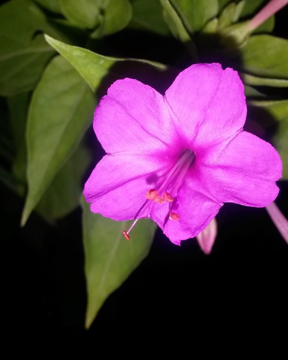گلهای لاله عباسی مون (3)