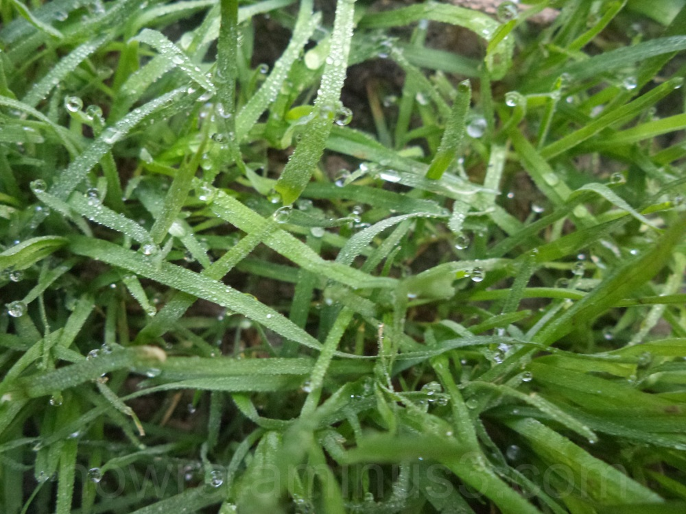 The morning dew