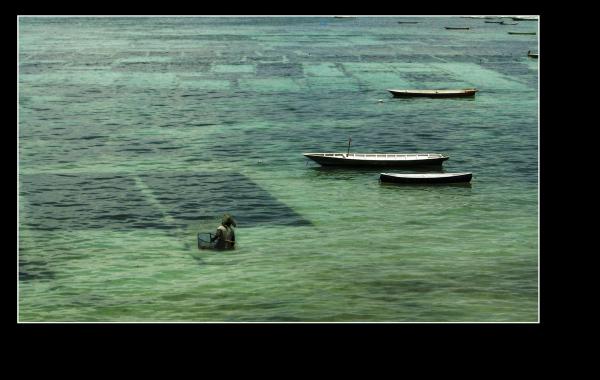 cultivate seaweed lembongang island