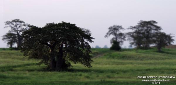 Árboles en Mbanza Calumbo