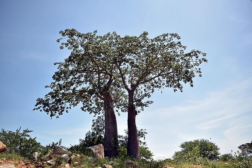 Árboles en Chongoroi