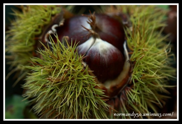 châtaigne , fruit automne
