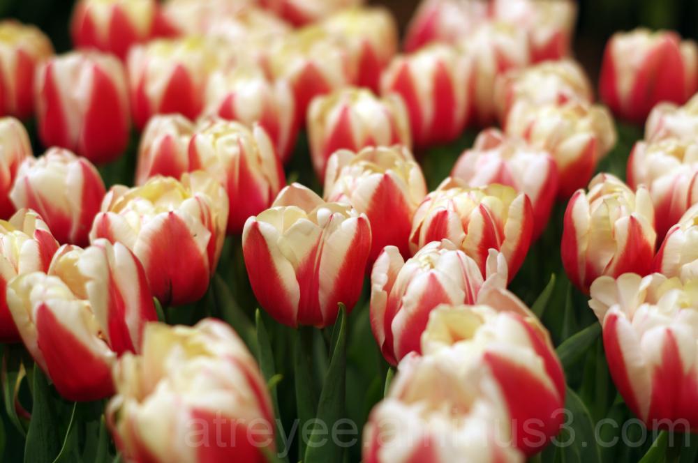 Tulip Garden (3)