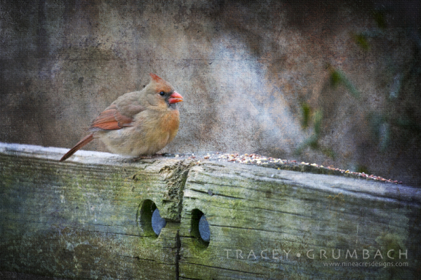 cardinal on a cold winter day