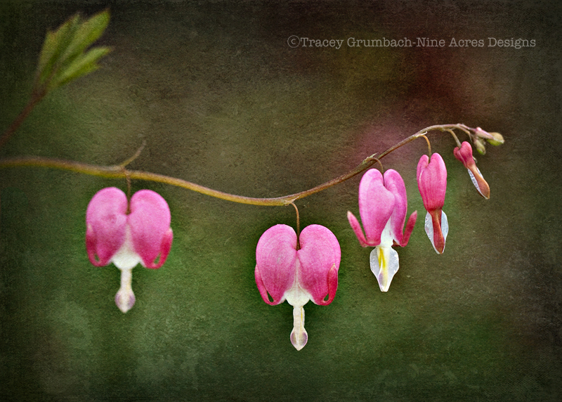 bleeding heart plant in bloom