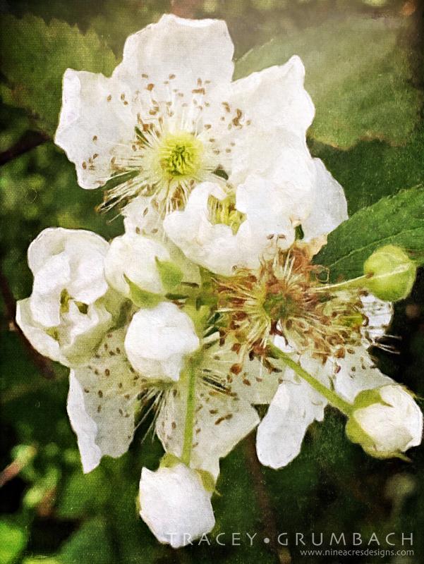 white wild rose blooms