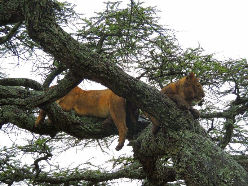 Lion mouillé