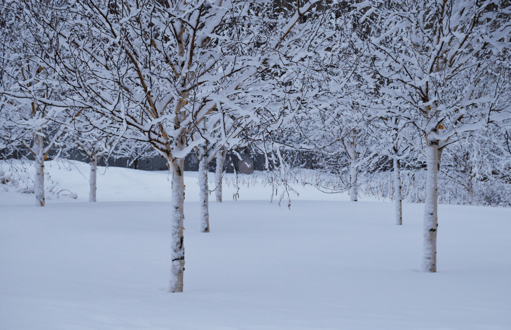 Eenly spaced white birch in white snow