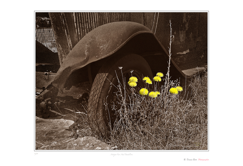 Antique Car And Dandelions