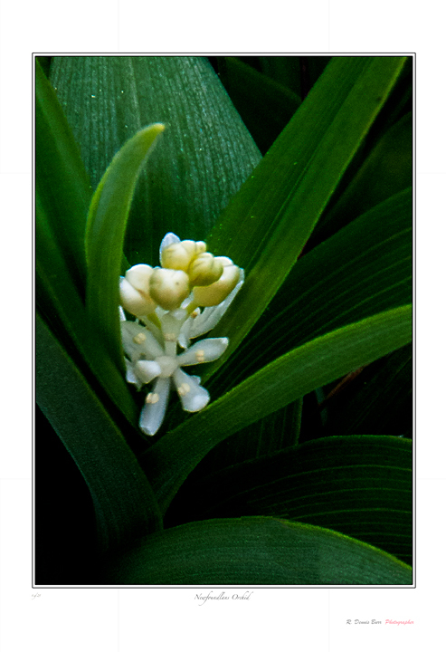 Newfoundland Orchid